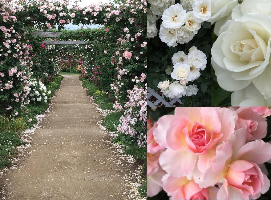 バラの香りに包まれる 信州中野 一本木公園のバラまつり 色とりどりのバラを見て 1時間程いたら 体にバラの香りが移り 帰りの車中もいい香り バラの香りの中にいると あら不思議 シンデレラになって お城にいるような気分になるのはなぜ?